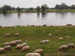 Suchbild: Wer hat sich am Elbufer unter die Schafe geschmuggelt?